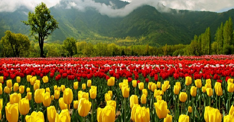 Blooming tulips await you in Kashmir!