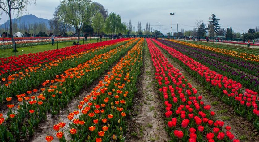 Spring Flowers In Bloom In Asia's Largest Tulip Garden